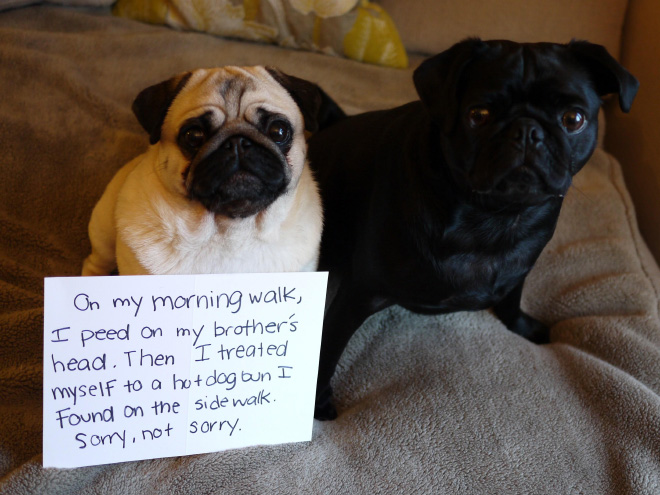 thanksgiving pug meme