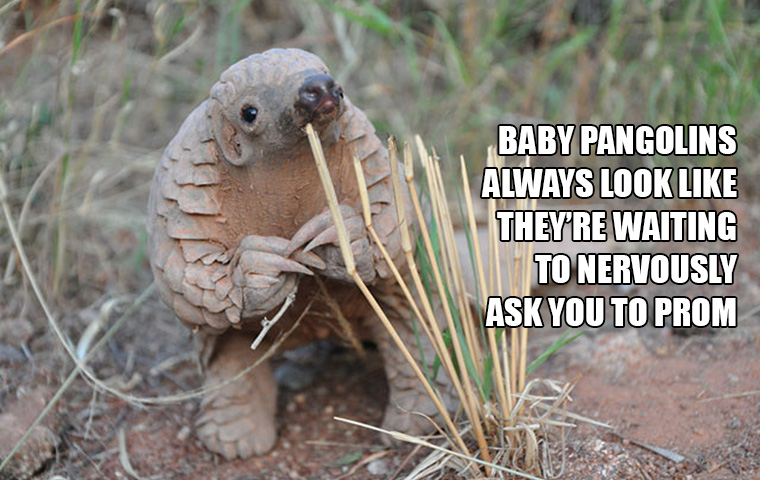 Baby Pangolins