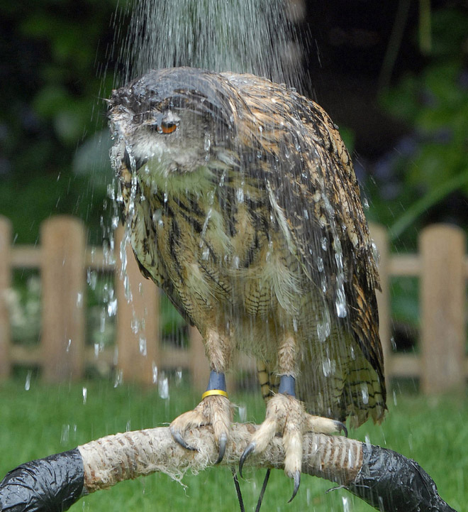 Horribly pissed wet owl.