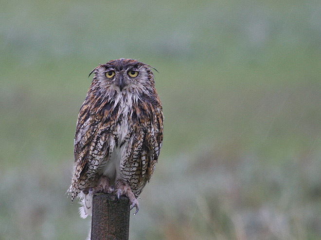 Wet owl on a pole.
