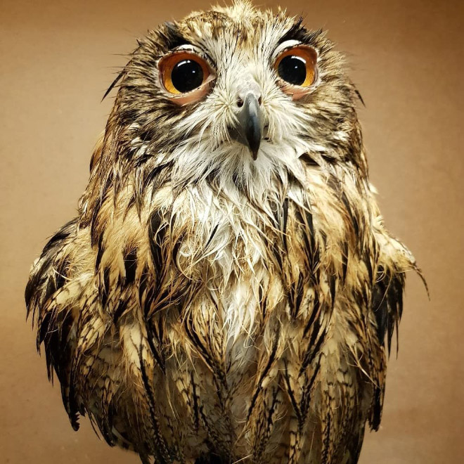 Adorable wet owl baby.