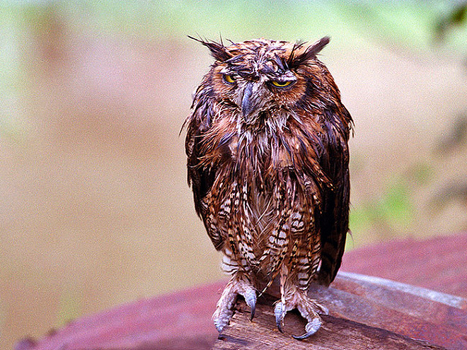 Pissed wet owl.