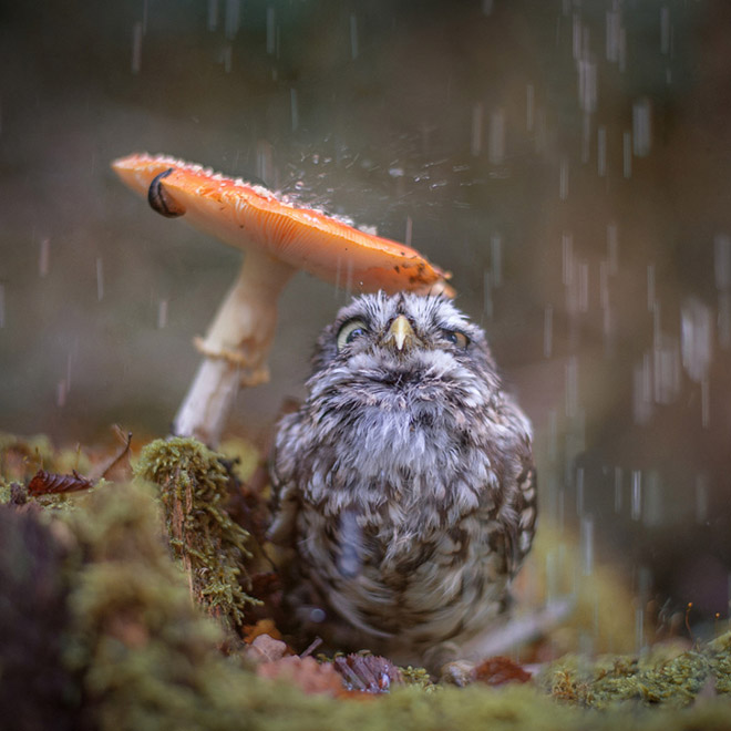 Wet owl hiding under a mushroom.