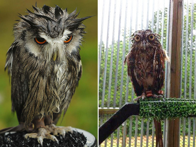 Couple of angry wet owls.