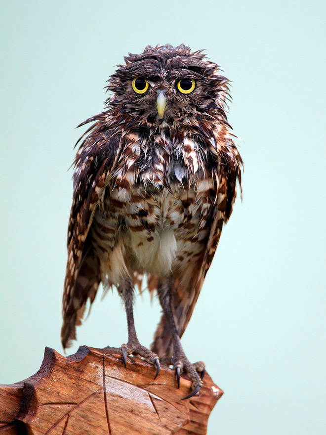 Angry wet owl.