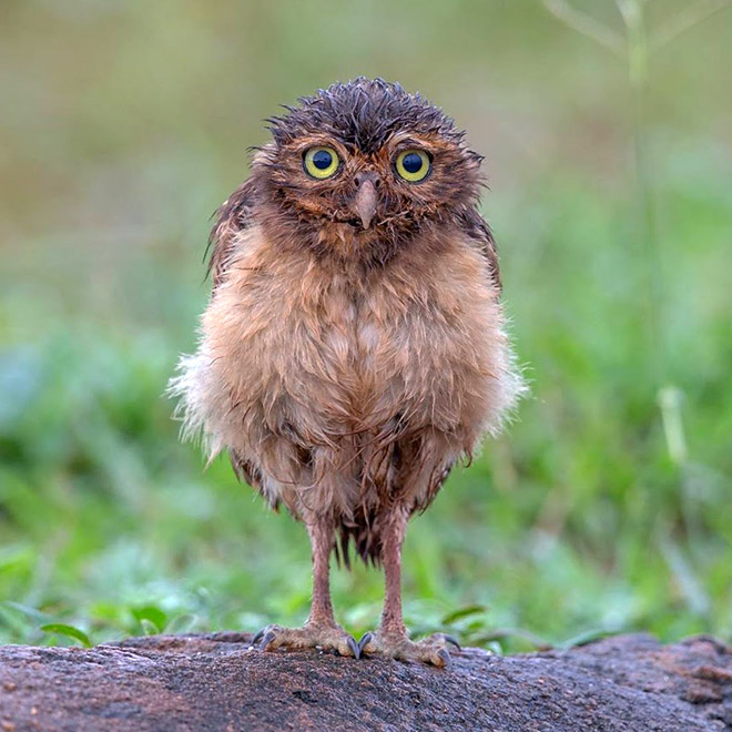 Adorable wet owl.