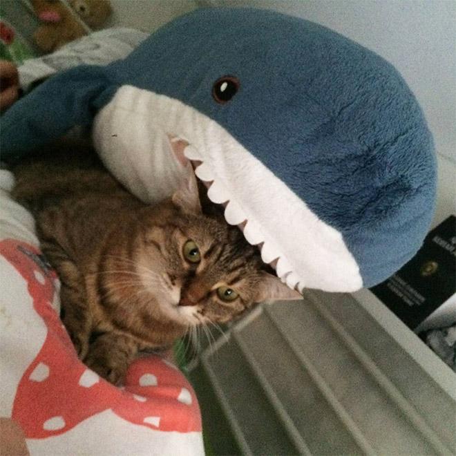 Shark eating a cat.