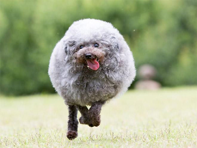 Funny round dog running.