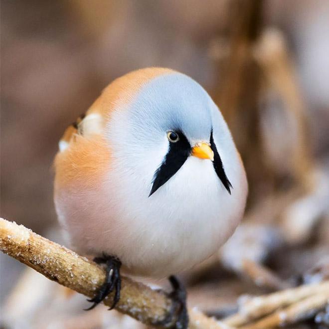 World's roundest bird.