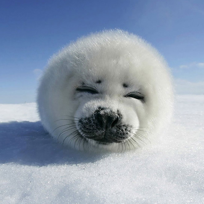 World's roundest seal.