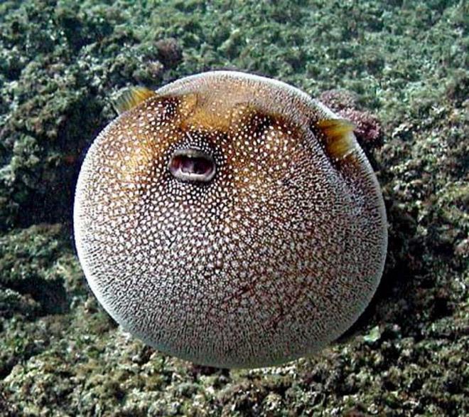 Funny round fish.