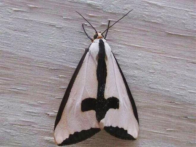 Metalhead moth.