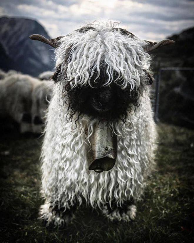 Metalhead sheep.