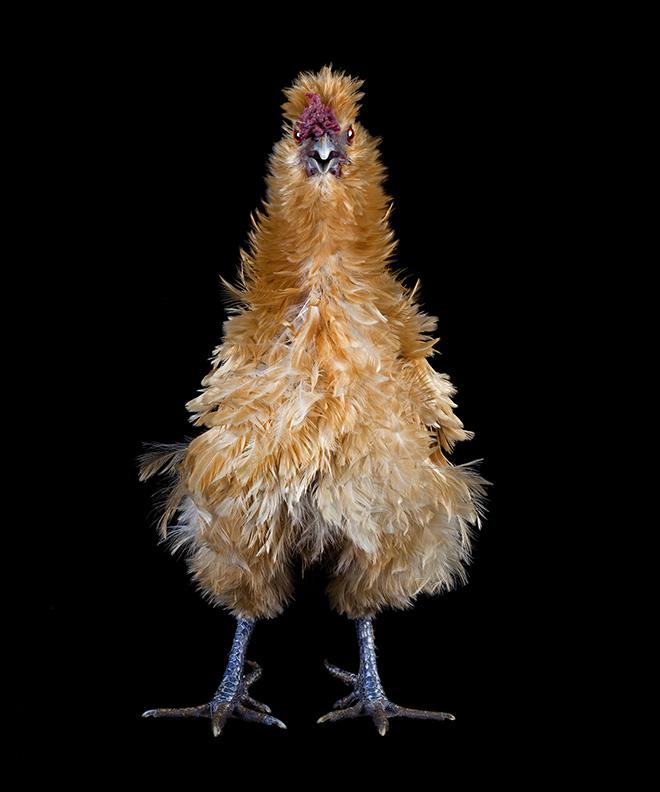Funny awkward chicken.