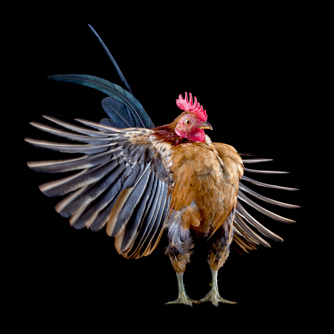 Cool looking rooster.