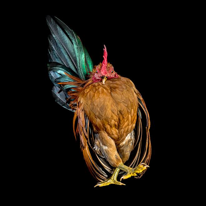 Awkward funny chicken.