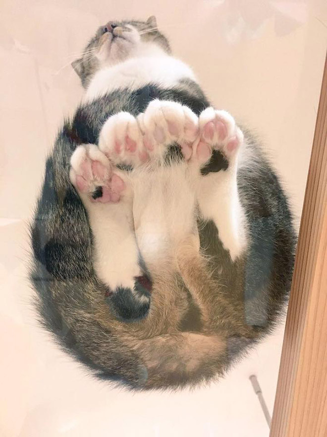 Funny cat paws on a glass table.