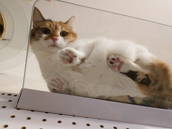 Cats On Glass Tables Is The Funniest Thing Ever