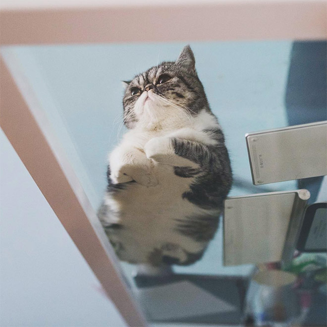 Funny cat laying on a glass table.