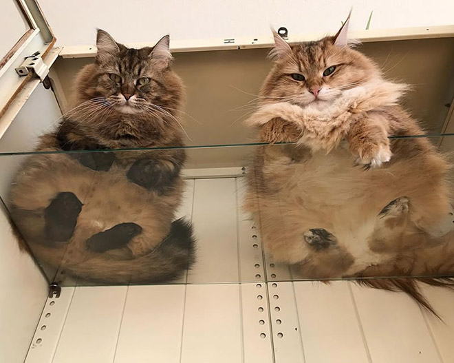 Two cats laying on a glass table.