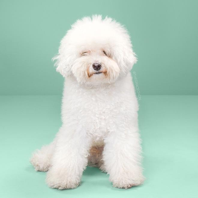 Before Japanese dog grooming.