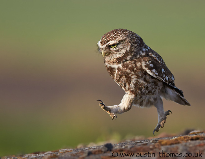 Funny looking walking owl.