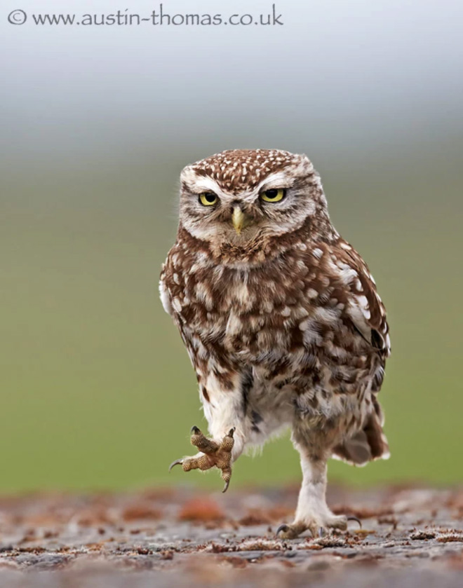 Walking owls look so awkward...