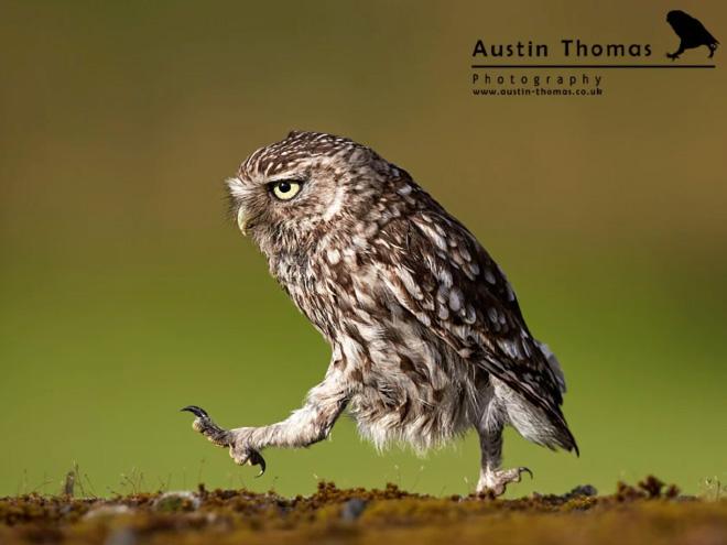 Funny owl walking.