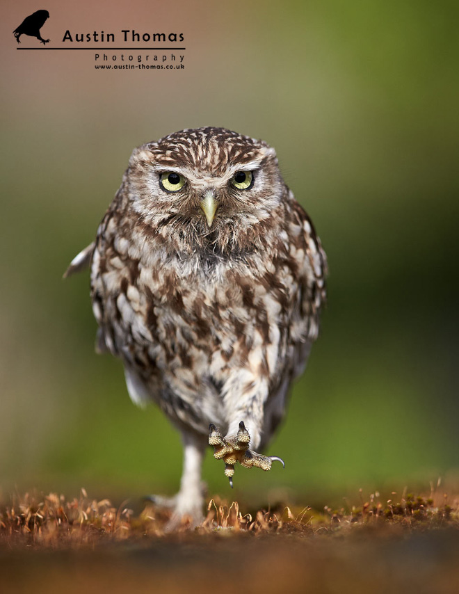 Owls look hilarious when walking.