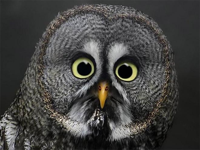 Funny shocked owl.