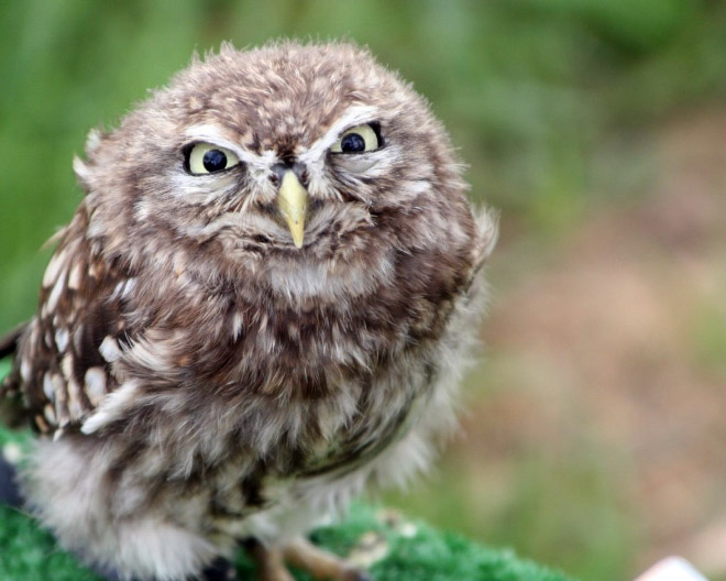 Funny grumpy owl.