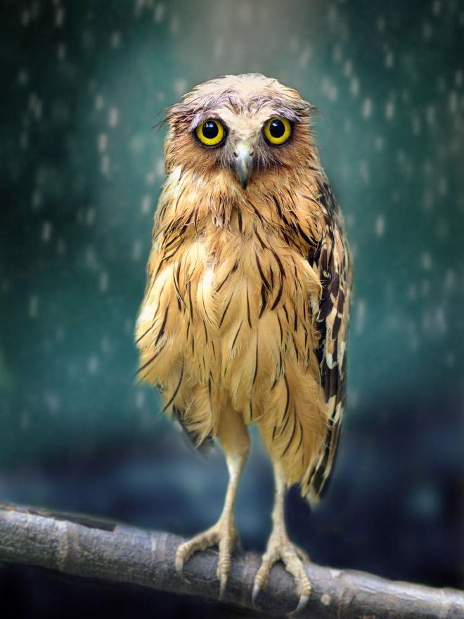 Funny wet owl.