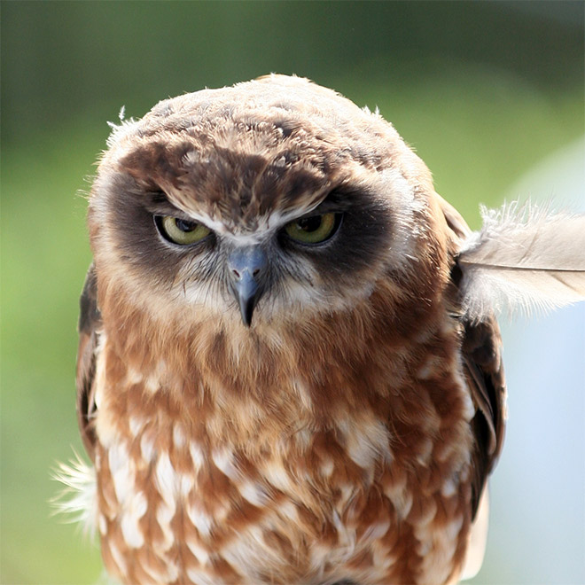Hilariously angry owl.