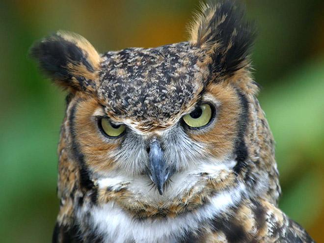 Really angry owl.