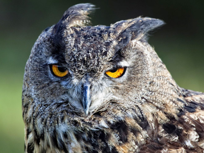 This owl is not amused.