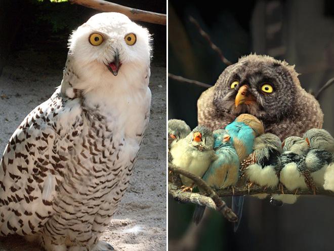 Funny angry owls.