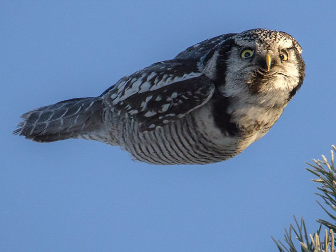 This owl hates you while flying.