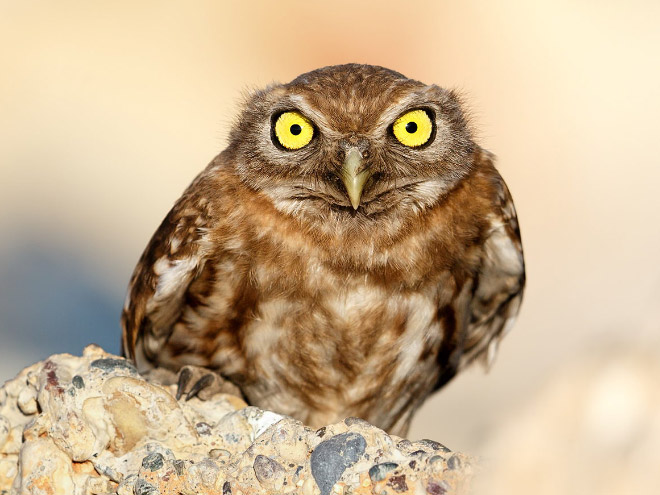 Really pissed off owl.