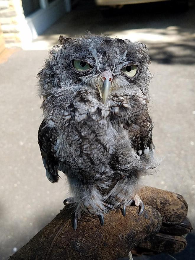 Funny hungover owl.