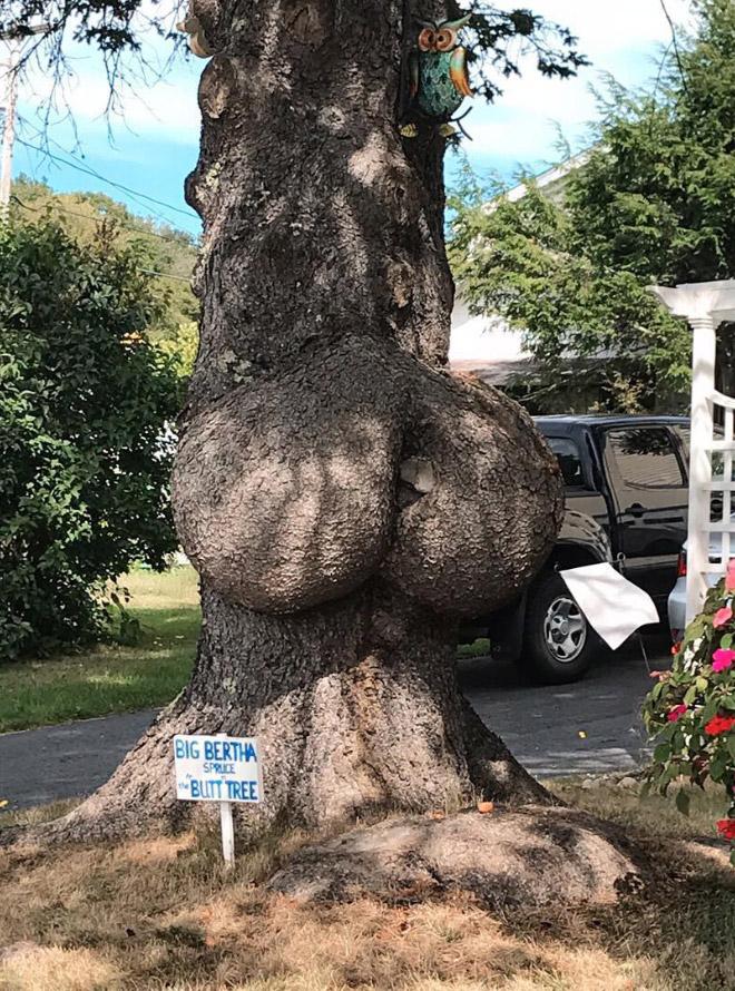 Big Bertha tree.