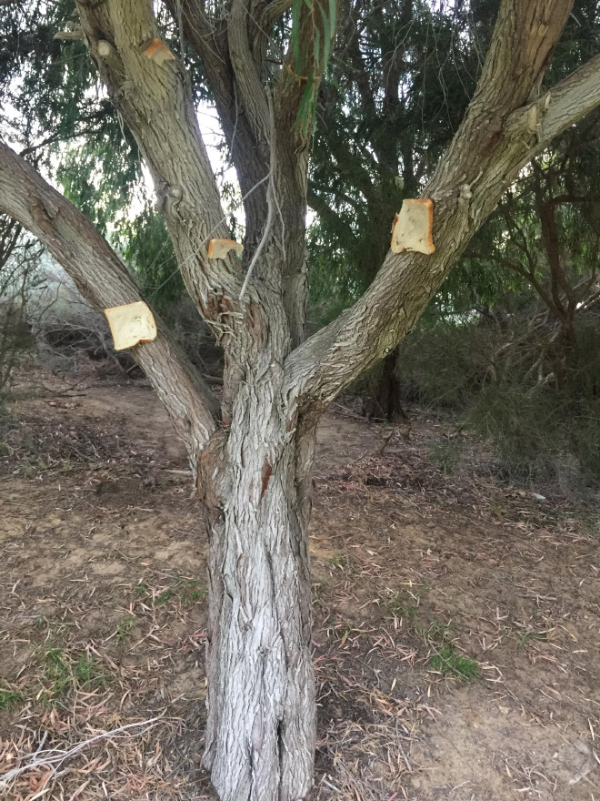 Bread slices stapled to a tree.