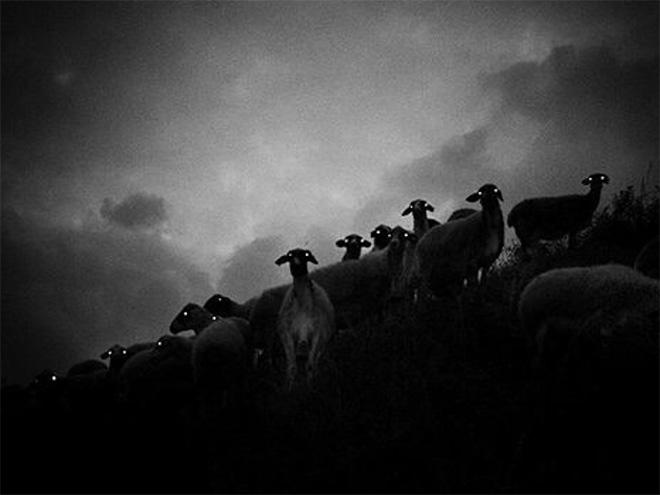 Sheep in the night.