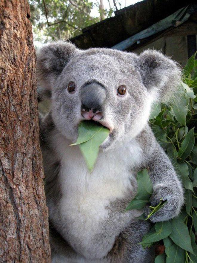 This koala hates you.