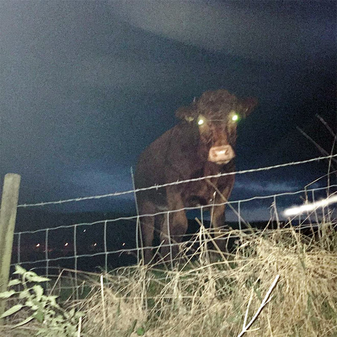 Demon cow with glowing eyes.