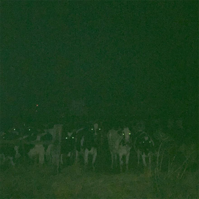 Creepy cows standing in the dark.