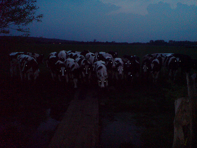 Cows in the dark look terrifying.