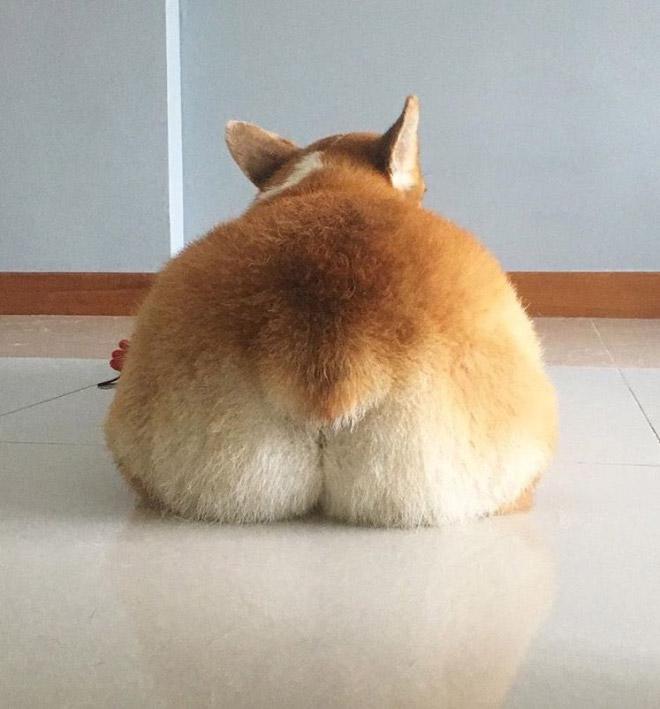 Funny cute corgi butt.
