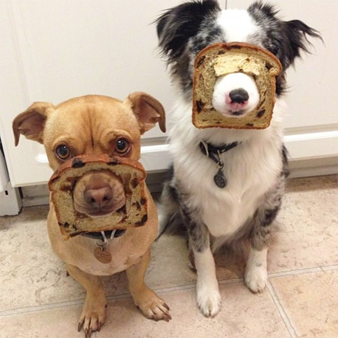 Inbread dogs.