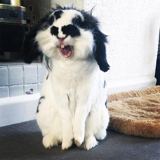Yawning rabbits are horrifying.