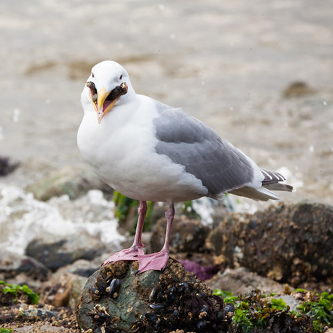 Seagull eating starfish looks really scary!